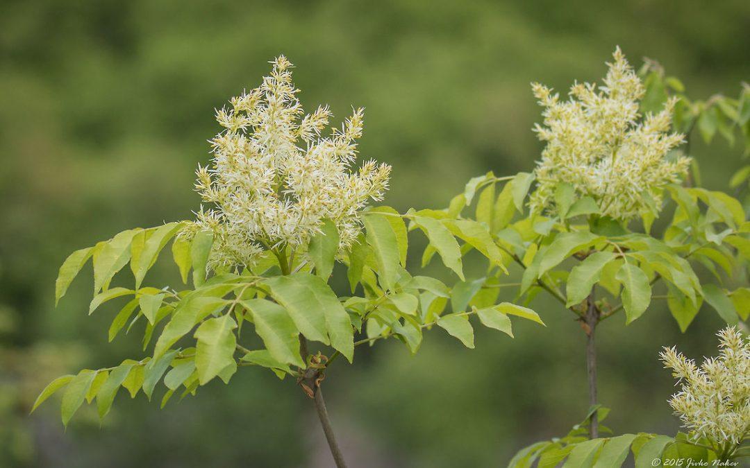 Ash herbs