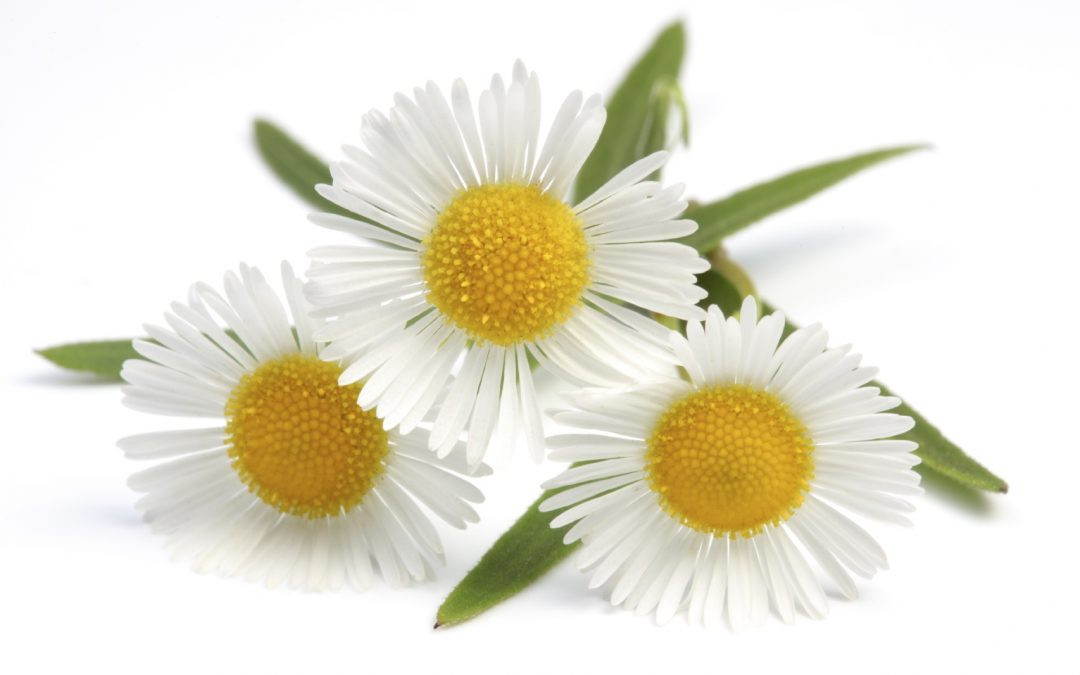 Camomile herbs