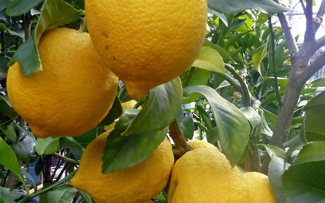 Italian lemon essential oil