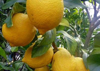 Huile essentielle de citron italien