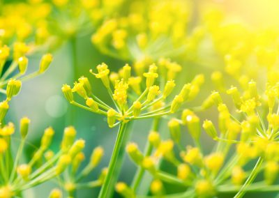 Huile essentielle de fennel