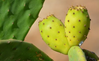 The number one name for prickly pear seed oil