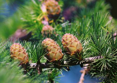 Siberian pine essential oil