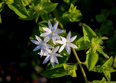Parfum de jasmin de damas