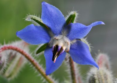 Borage vegetable Oil