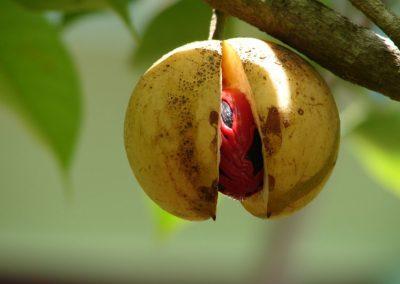 Huile essentielle nutmeg