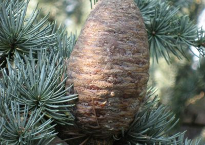Cedar essential oil of atlas