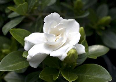 Gardena perfume