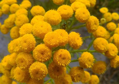 Moroccan Blue Tansy Essential Oil