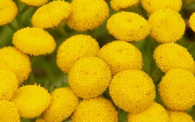 Moroccan Blue Tansy Essential Oil Health Benefits
