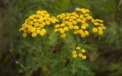 Health Benefits and use of Moroccan blue tansy essential oil